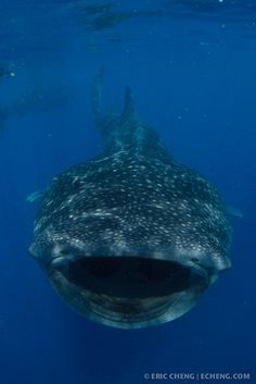 Whale Sharks, Isla Mujeres, Mexico 2011. Photo by Eric Cheng.
