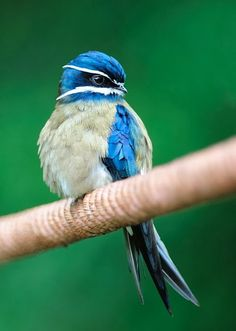 The Whiskered Treeswift is found in Brunei, Indonesia, Malaysia, Myanmar, the Philippines, Singapore, and Thailand.