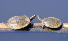 Turtle embryos can speed up their development to hatch together with their siblings Murray River, Australia Animals, Turtle Love, Siblings, Beautiful Creatures, My Favorite Things, Turtles, Wikimedia Commons, Sydney