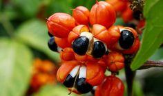 Guaraná Emagrece Ou Engorda: Conheça Seus Benefícios