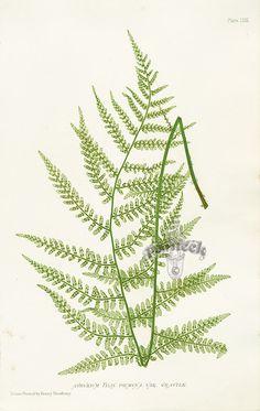 Nature Printed Ferns by Henry Bradbury 1859