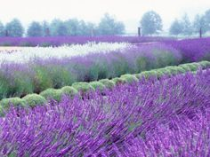 SEQUIM LAVENDER FIELDS...I saw these in Washington state last year.