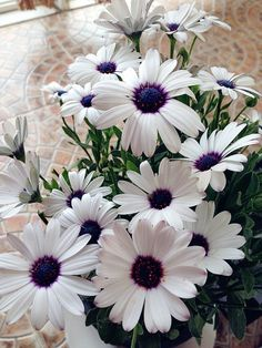 African Daisy (1) From: uploaded by user, no url