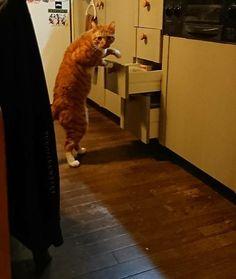 深夜にキッチンの引き出しをあさっていた愛猫の写真に注目が集まっています。愛猫の決定的瞬間をスクープ!愛猫の画像を投稿しているのは、ぺるめる/きなこ(@kinako0182)さん。【ねこぶんしゅん】スクープ!「深夜