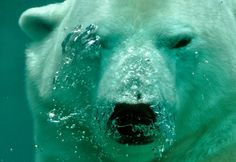 Maxim Deminov found himself face to face with a polar bear on a recent shoot in Katmai National Park and Reserve in Alaska, a land known for its pristine, primal vistas and the home of formidable animals and got video of how it turned out . White Polar Bear, Black Bear, Polar Bears, Touching Spirit Bear, Photo Ours, Stocks And Shares, Polaroid, Katmai National Park, Water Animals