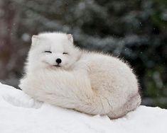 Resultado de imagen para zorros articos bebes