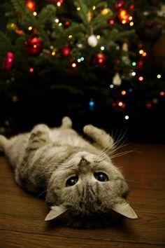 #christmas #lights #cat