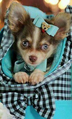 Adorable blue eyed pup dressed in teal