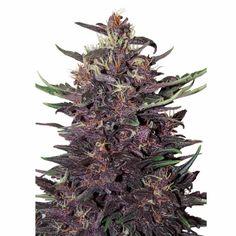 Cepas de marihuana para la disfunción eréctil