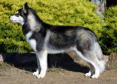 Husky sibérien noir et blanc.