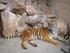 ベンガルトラ  Ikeda Zoo #okayama