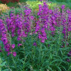 Perennials Penstemon Cha Cha Purple from Santa Rosa Gardens - Beard Tongue - pot Hardy Perennials, Flowers Perennials, Planting Flowers, Flower Bed Plants, Front Flower Beds, Monrovia Plants, Garden Plants, Rock Plants, Backyard Plants