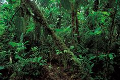 Ecuador: rainforest along the northern coast -- Britannica Online Encyclopedia