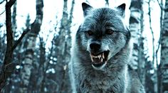Nymeria's wildness could serve as a mirror for Arya's, as she runs around Westeros viciously murdering her enemies. On the othe Winter Is Here, Winter Is Coming, Wolf Hybrid, Wolf Husky, Kings Game, Game Of Thrones Art, Gifs, Dire Wolf, Wolf Pictures