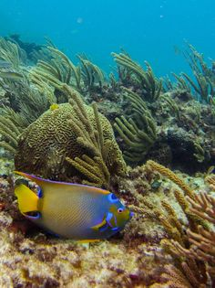 Beautiful, high quality pictures involving the sea or sea life. Angelfish, Sea Photo, Oc, Internet, Queen, Pets, Animals, Animales, Animaux