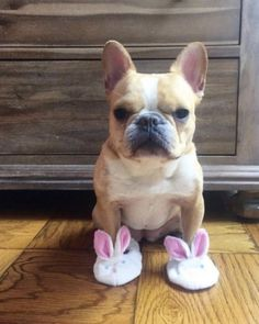 PetsLady's Pick: Cute Bunny Slipper Bulldog Of The Day Cute Baby Dogs, I Love Dogs, Cute Puppies, Dogs And Puppies, Doggies, Cute Funny Animals, Cute Baby Animals, Animals And Pets, Cute French Bulldog