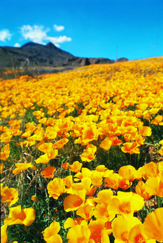 poppies at the franklin mountains poppy fest.