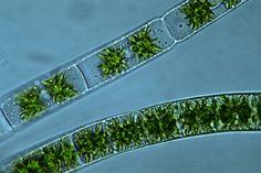 http://www.life.umd.edu/labs/delwiche/Strp/Chlorophyta/charophyceae/zygnema.jpg Zygnematales    Zygnema sp. is an unbranched filamentous alga. Unlike spirogyra, it has axile chloroplasts.
