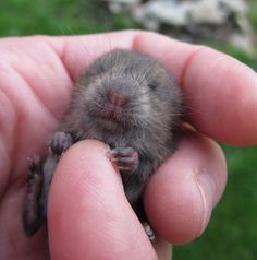 Baby Woodland Vole I found in my garden :)