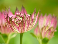 Photo macro fleur Grande astrance 'Claret' (Astrantia major 'Claret')