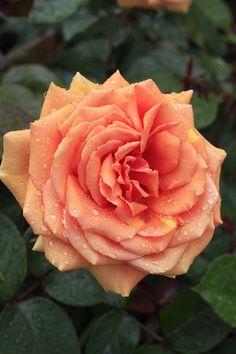 'Ashram'   Hybrid Tea Rose. Rosen Tantau 1998
