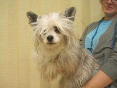 Meet Drama, an adopted Chinese Crested Dog Dog, from Martin County Humane Society in Fairmont, MN on Petfinder. Learn more about Drama today. Chinese Crested Powder Puff, Chinese Crested Dog, Martin County, Humane Society, Adoption, Drama, Dogs, Animals, Foster Care Adoption