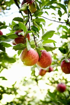 ★ℒ ★Jennifer Causey Types Of Fruit, Fruit And Veg, Beautiful Fruits, Beautiful Flowers, Apple Tree Blossoms, Fruit Picking, Apple Farm, Fruits Photos, Fruit Picture