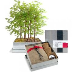 Bonsai Forest Kit: Dawn Redwood - $ 54 at Branch - #ecogift