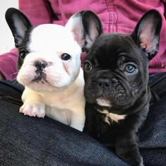The major breeds of bulldogs are English bulldog, American bulldog, and French bulldog. The bulldog has a broad shoulder which matches with the head. Cãezinhos Bulldog, French Bulldog Puppies, French Bulldogs, Frenchie Puppies, Cute Puppies, Cute Dogs, Dogs And Puppies, Doggies, Positive Dog Training