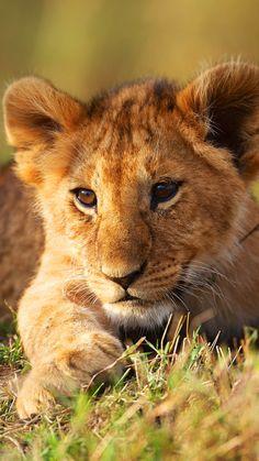lion cub, grass, lion