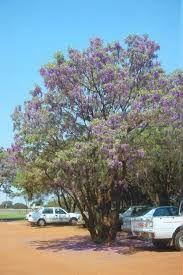 Bolusanthus speciosus - Google Search African Tree, Wisteria Tree, Wholesale Nursery, Plant Nursery, Flowering Trees, Bird Watching, Trees To Plant, Garden Inspiration, Green And Grey