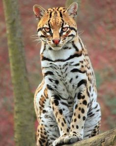 Ocelot (Leopardus pardalis) by Nicolas Rueda Newmark Nature Animals, Animals And Pets, Funny Animals, Baby Animals, Cute Animals, Wild Animals, Wildlife Nature, Big Cats, Cool Cats