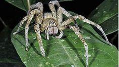 Aranha Errante Brasileira ou aranha-armadeira é conhecida pelo veneno que pode matar seres humanos em apenas duas horas.