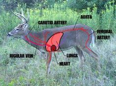 Keys to Understanding Shot Placement on a White-tailed Deer | DEER30outdoors.com