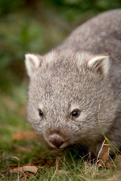 This little wombat is just precious.