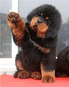 Tibetan Mastiff puppy. It's so fluffy!