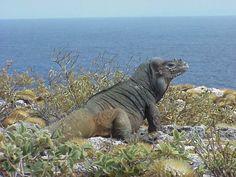 Ciclura cornuta cornuta, Iguana rinoceronte, endemica de La Hispaniola