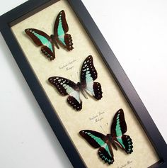 3 Blue Graphium Real Framed Butterfly Collection 7971. $69.99, via Etsy.