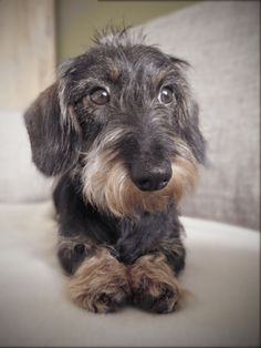 """Fantastic """"Dachshund dogs"""" information is available on our web pages. Dachshund Facts, Dachshund Funny, Dachshund Puppies, Dachshund Love, Pet Dogs, Dog Cat, Pets, Doggies, Griffon Bruxellois"""