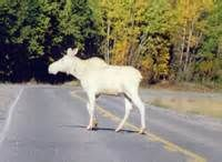 Albino Moose - Bing Images