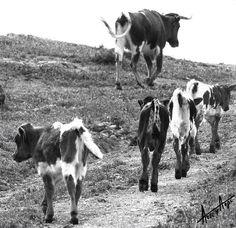 Vaca y becerros