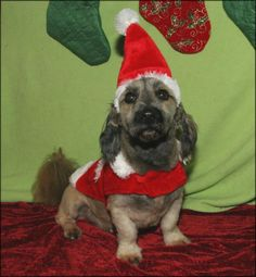 Meet Buster, an adoptable Lhasa Apso looking for a forever home. Come and meet him today, and you will fall in love-- .CA
