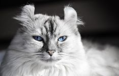 animal:American Curl You Need To Know About The American Curl Cat Mystart Shutterstock Bobtail Shorthair Wirehair Personality Munchkin Kitten American Curl, Lykoi Cat, Werewolf Cat, Bengal, Most Popular Cat Breeds, Munchkin Kitten, Egyptian Mau, Cat With Blue Eyes, Gatos