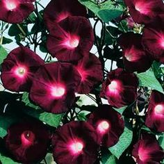 Morning Glory Seeds in bulk or by the packet at EdenBrothers. Heavenly Blue Morning Glory Seeds, Grandpa Ott Morning Glory Seeds, Moon flower Seeds and more. Largest selection of morning glory seeds in bulk or by the packet.