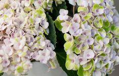 KW 39 kurzstielig: SWEET DREAMS   6 Hortensien für Ihre Tischvase   BLOOMY DAYS