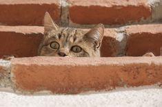 Bury, Kot, Spojrzenie, Wystraszony, Cegły