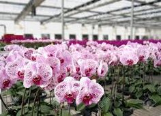Picture of Purple butterfly orchids of the Phalaenopsis genus are cultivated in a commercial greenhouse stock photo, images and stock photography. Orchid Roots, Moth Orchid, Phalaenopsis Orchid, Orchids In Water, Water Plants, Orchid Nursery, Grow Butterflies, Commercial Greenhouse, Growing Orchids