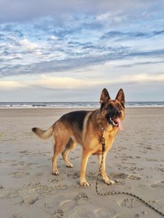 Winded and waiting for the ball at the beach German Shepherd Pictures, Motivational Quotes In Hindi, Shiva, Husky, Corgi, Waiting, Beach, Animals, Corgis