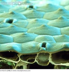Coloured SEM of a sectioned aloe leaf and stomata