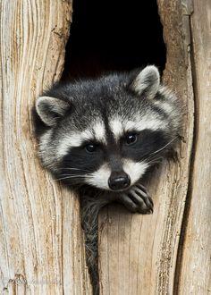 Raccoon Portrait -- by Rita Ivanauskas on 500px*